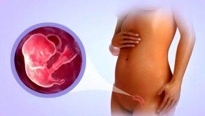 Размеры плода на 8 неделе беременности